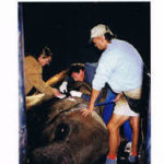 Dr. Anikis doing a biopsy on an African Elephant!